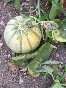 Un melon fait maison !