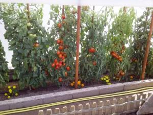 Potager à tomates