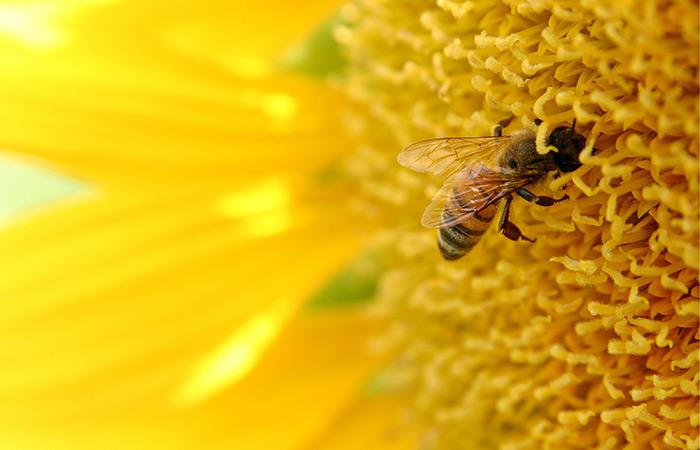 Abeille qui pollinise un tournesol