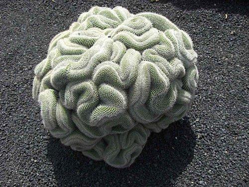 Le cactus cerveau