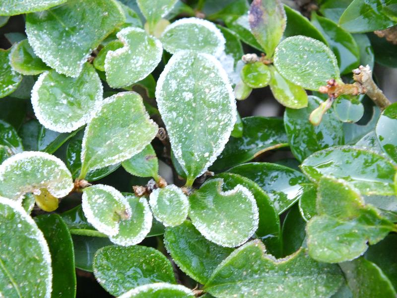 Une gelée au jardin