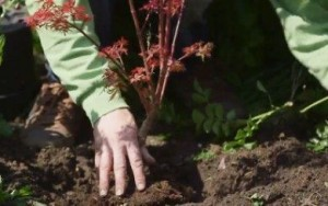 planter érable japon