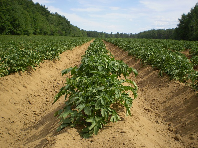 Patates en plein champ