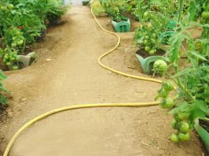 Les tomates en train de mûrir sous la serre