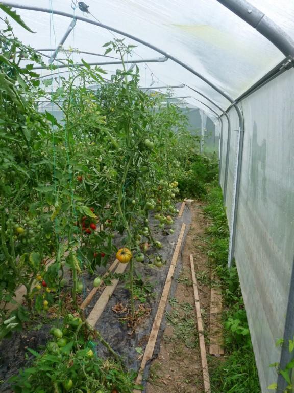 Tomates sous serre angevine