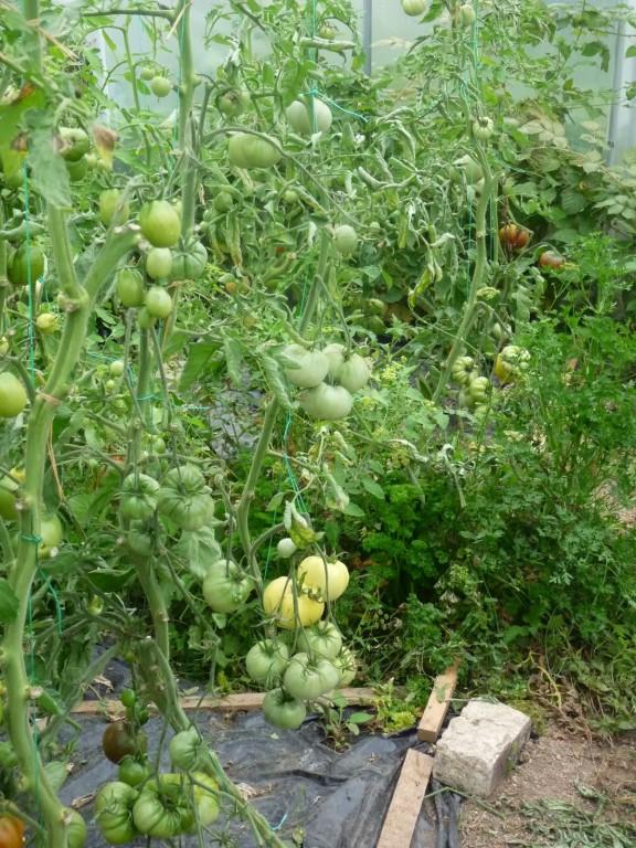 Tomates sur pied
