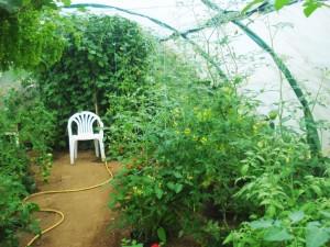 Les supports de culture soutiennent des pieds de tomates chargés.