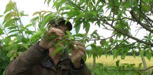 éclaircir arbres fruitiers