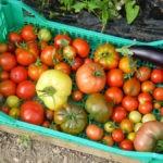 Grande variété de tomates