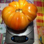 Des tomates de très gros calibres