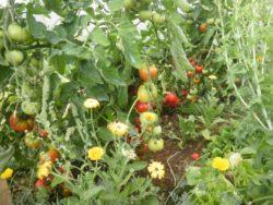 Tomates cultivées sous abri