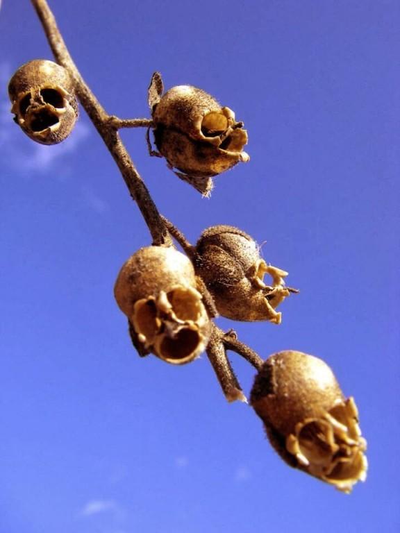 fleur tête de mort Antirrhinum