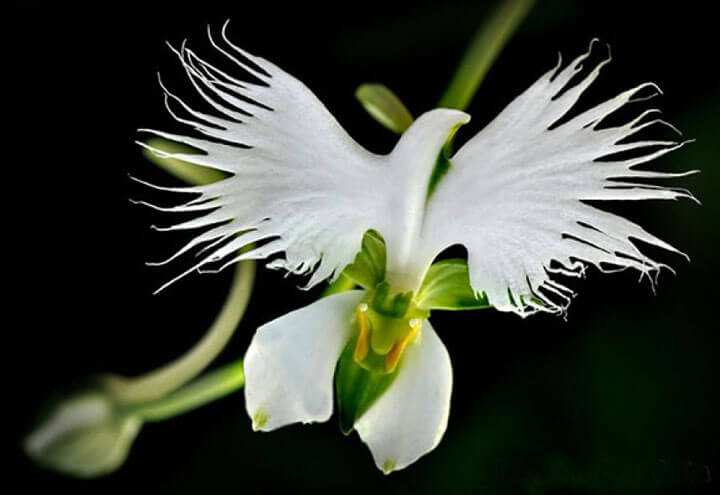 orchideee aigrette