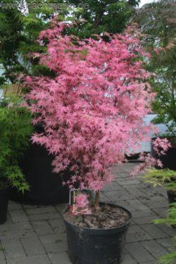 érable du japon acer palmatum taylor