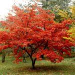 L'érable du japon : Une merveille pour votre jardin