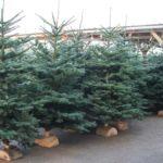 Quel est le sapin de Noël le plus respectueux de l'environnement : naturel ou artificiel ?