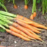 carotte jardin