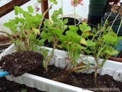 plantation géranium