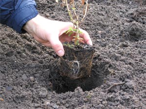 planter vivace