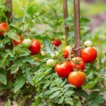 Comment planter les tomates en terre ?