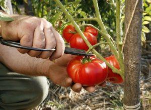 récolte tomate septembre