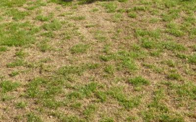 Que faire si votre pelouse a brûlé pendant l'été ?