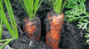 culture carotte