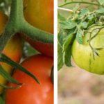 Le virus de la tomate : Un danger réel pour votre jardin