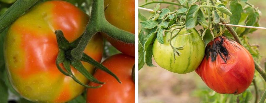 bandeau-virus-tomate