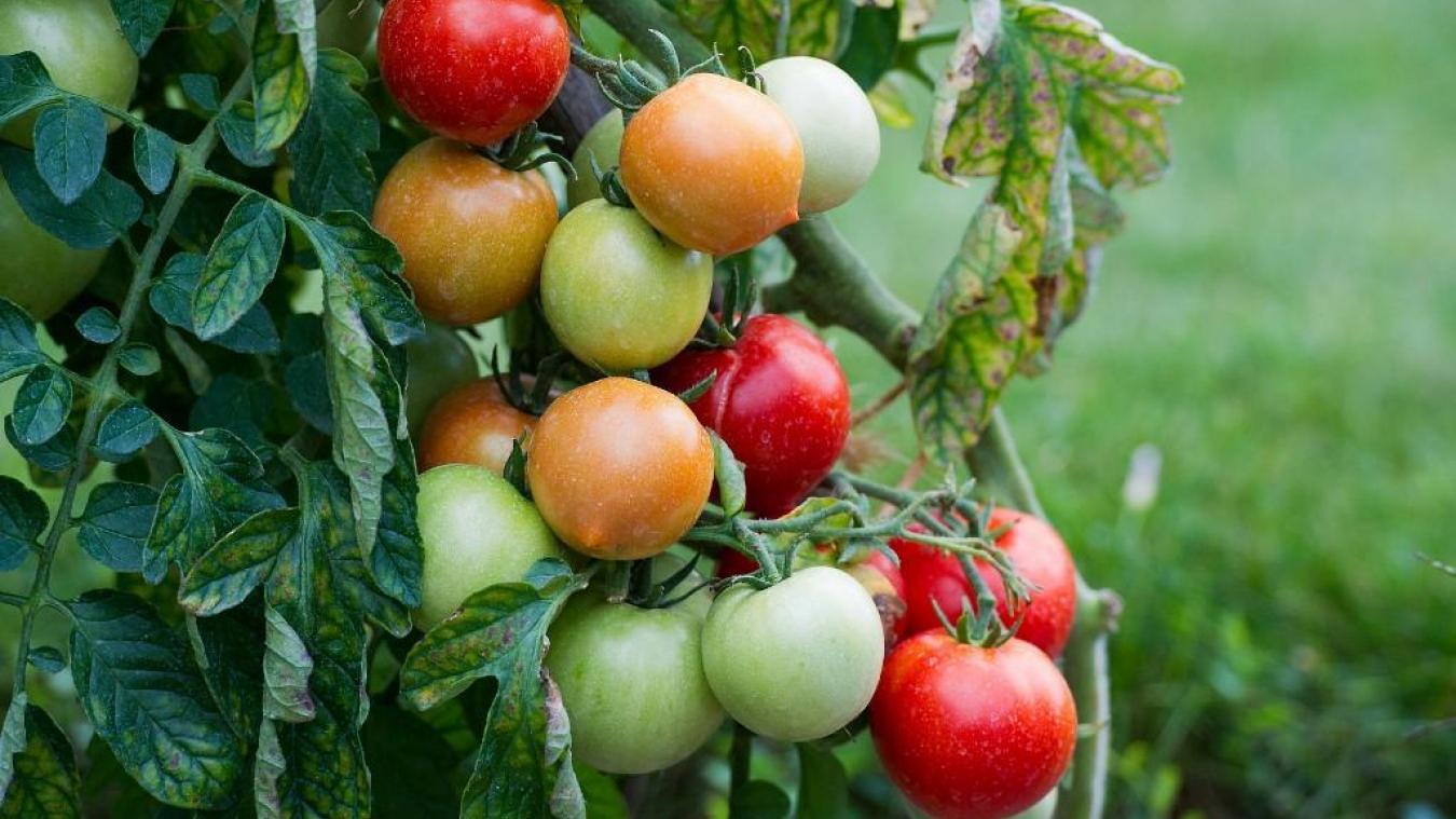 virus de la tomate culture