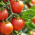 Quel est le meilleur paillage pour cultiver des tomates ?