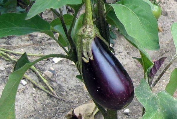 semis aubergine