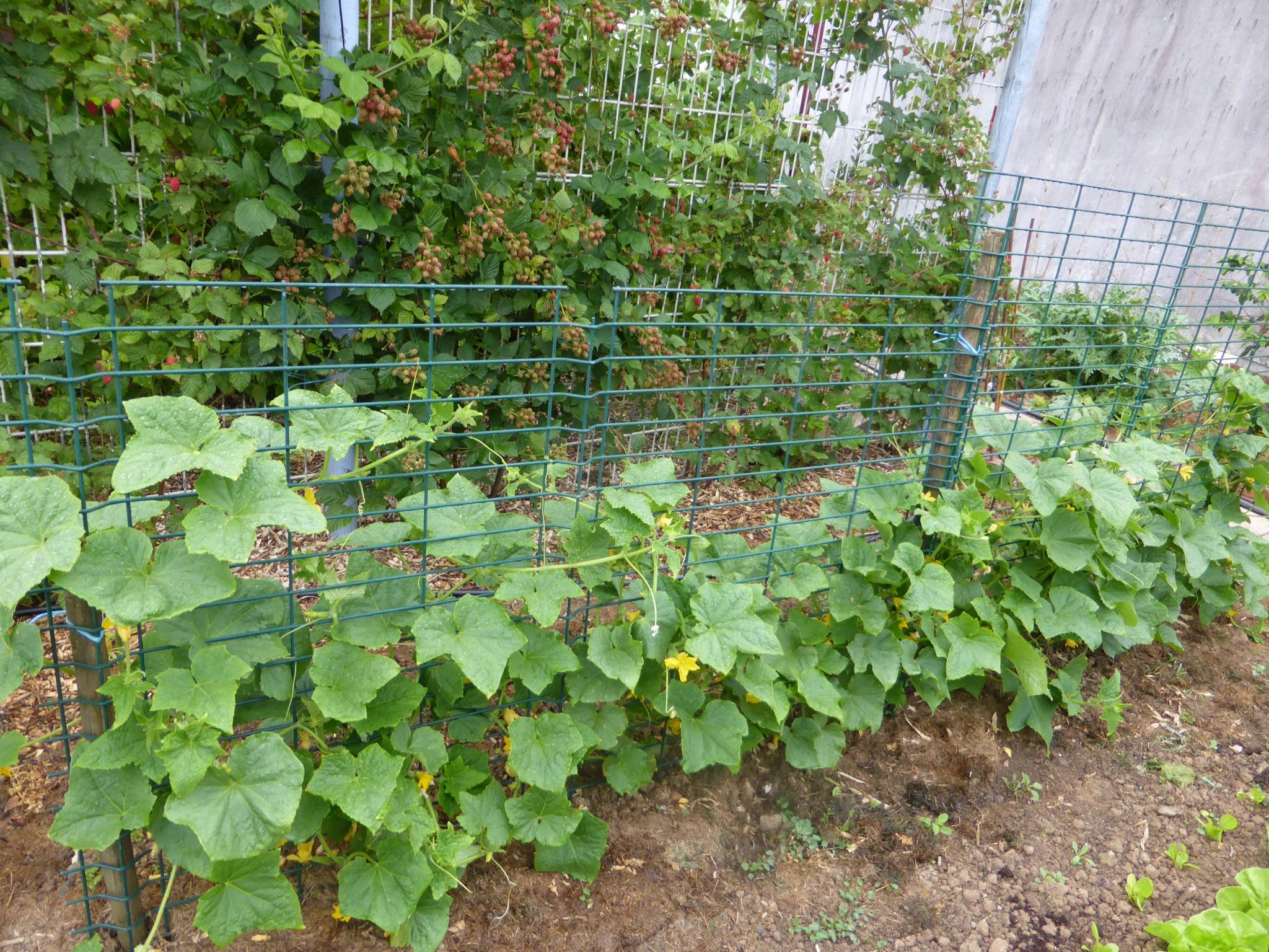 semis-cornichon