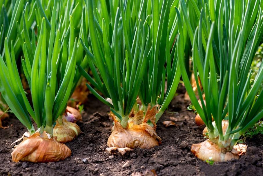 semis oignon