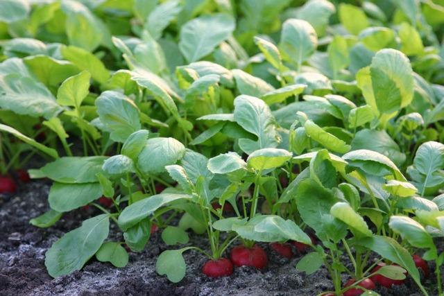 semis-radis