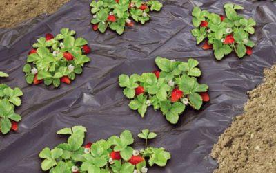 Quelle toile de paillage pour un fraisier dans son jardin?