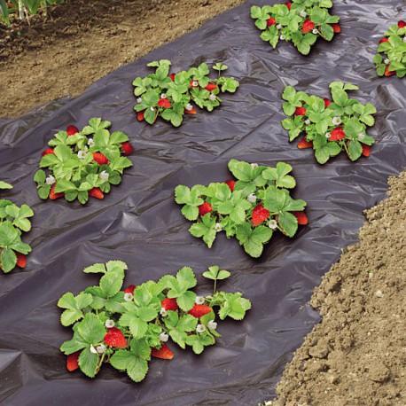 toile de paillage pour fraisier