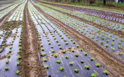 Quelle toile de paillage choisir pour cultiver des salades ?