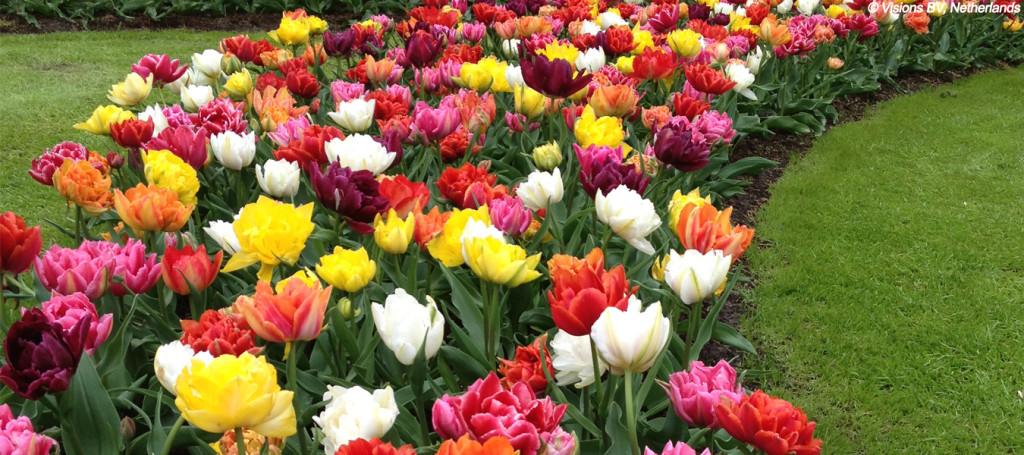 tulipe fleurs à bulbe