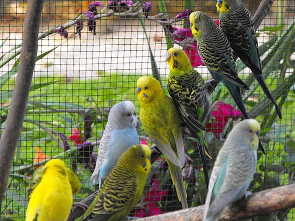 race-oiseaux-voliere-exterieure