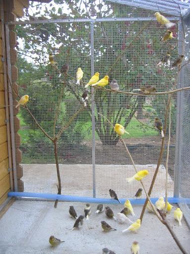 volière canaris