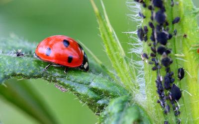 Quels sont les insectes auxiliaires utiles pour votre jardin ?