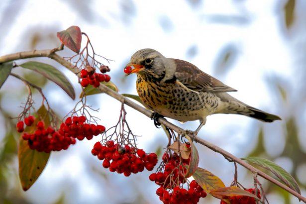 oiseau-fruits