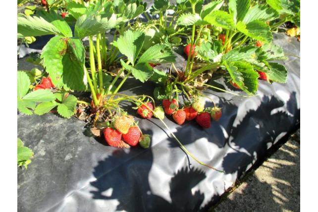 paillage-film-fraise