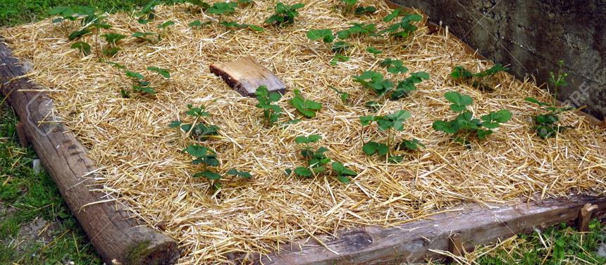 paillage foin jardin