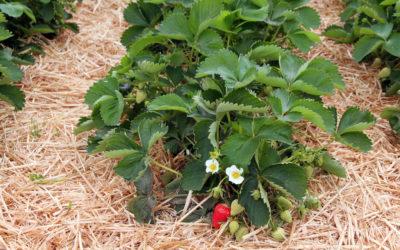 Quel paillage pour les fraisiers ?
