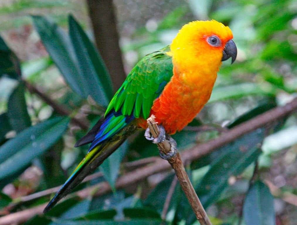 perroquet arratinga