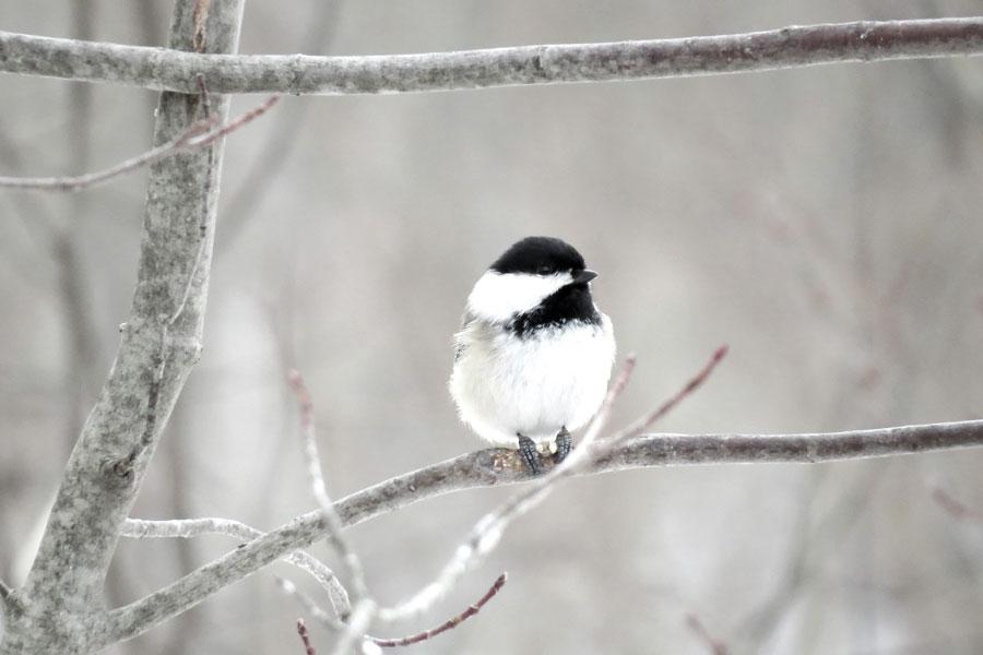 Mésange sur une branche dans la neige
