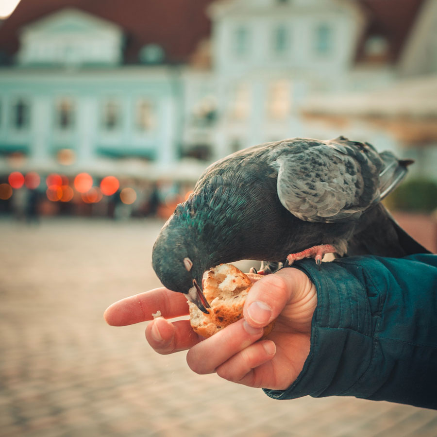 Pigeon qui mange du pain dans la main d'un homme
