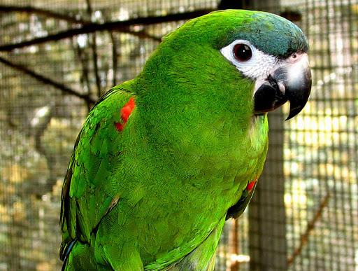 perroquet nobilis